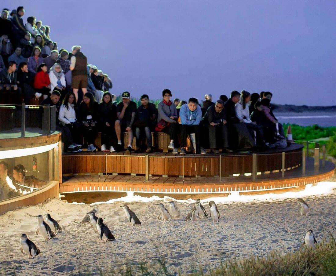 菲利普岛企鹅回巢