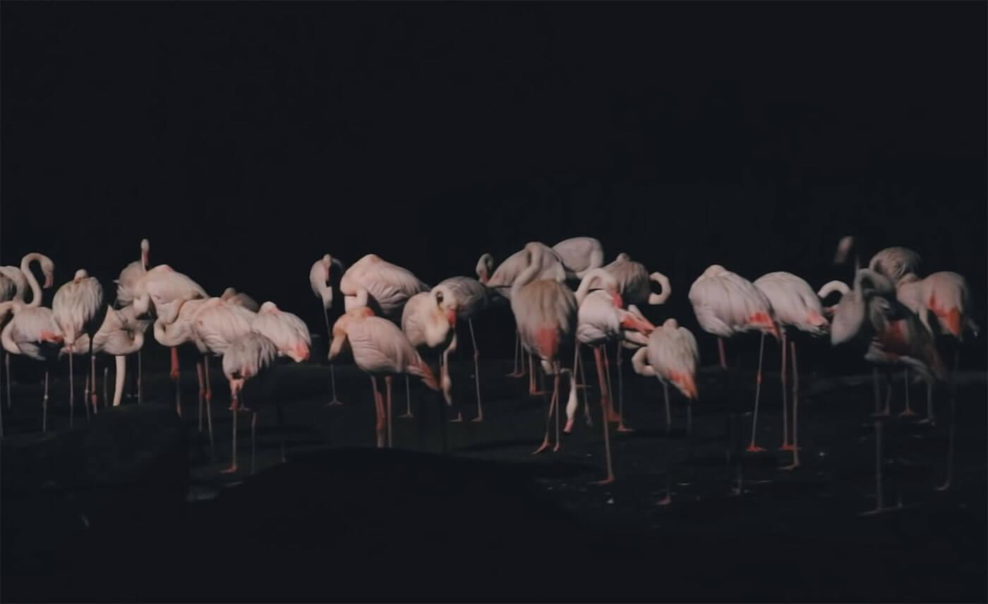 新加坡夜间动物园火鹤火烈鸟