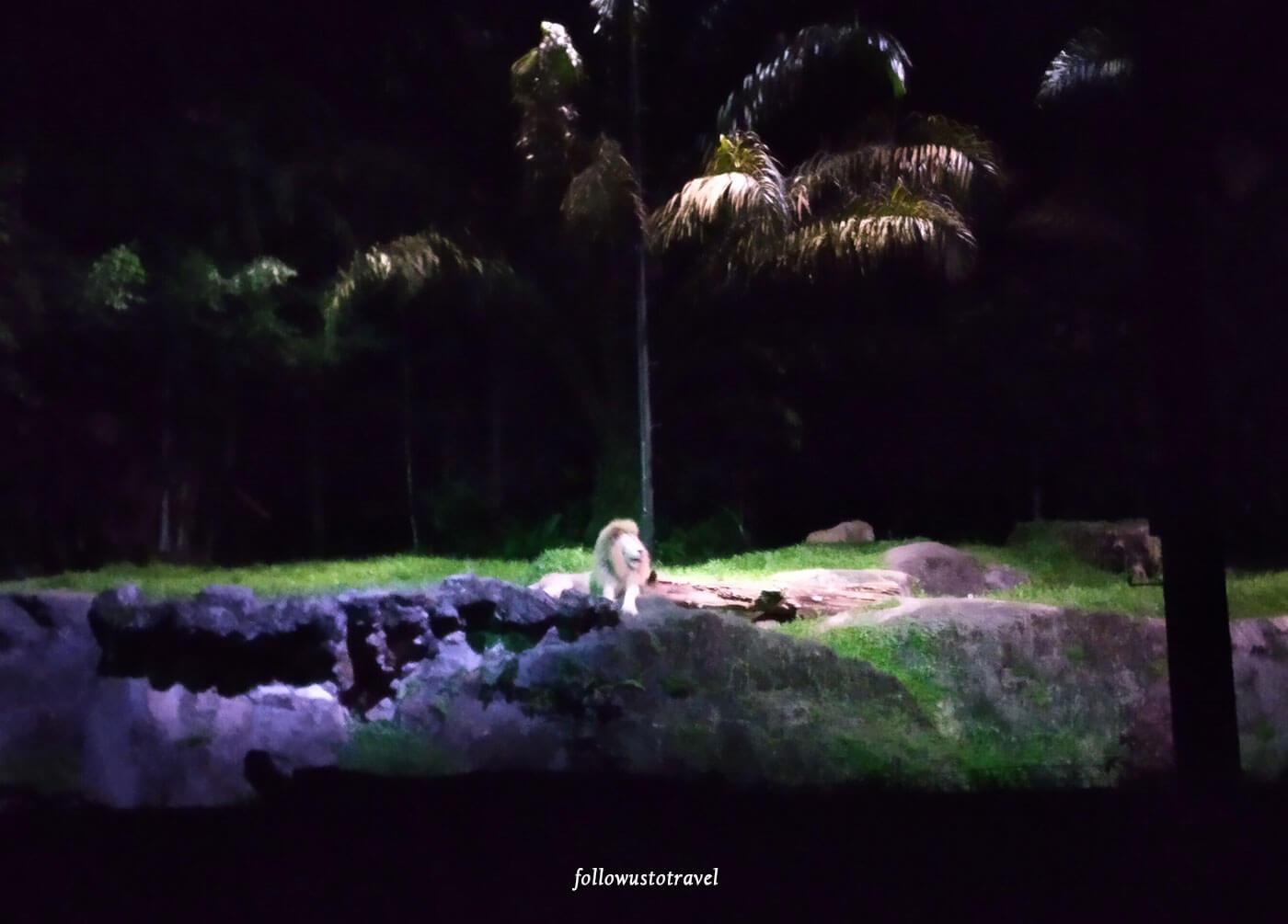 新加坡夜间野生动物园的狮子